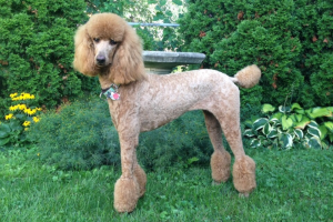 Evey - Standard Poodle